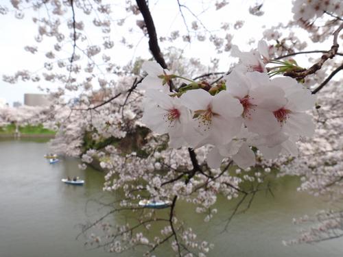 sakura2013-006.jpg